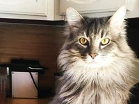Wallace the cat belongs to Dallas author Sarah Hepola and they are spending significantly more time together, Hepola says, with perhaps mixed results for Wallace.