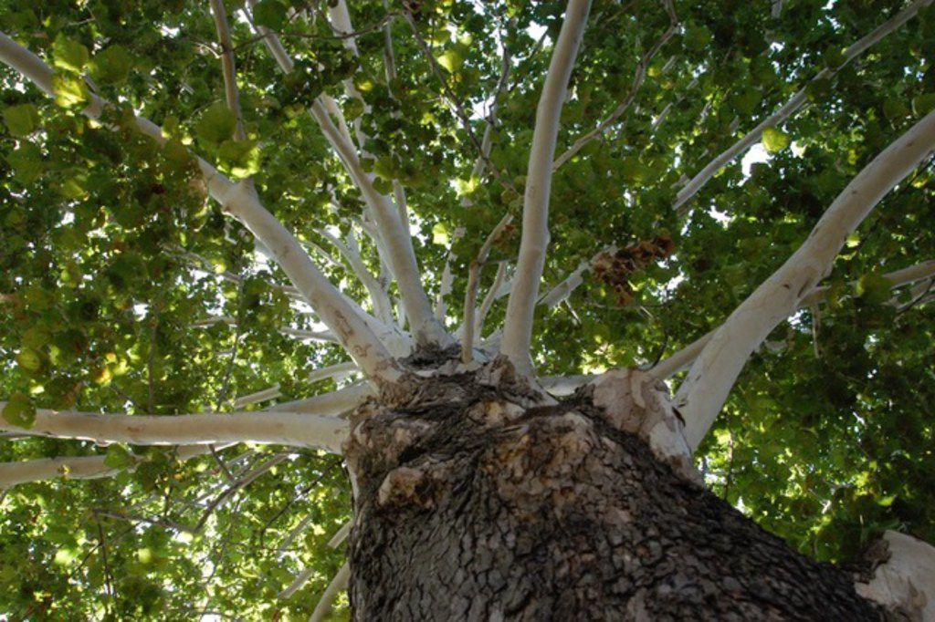 The Mexican sycamore tree is fast-growing and relatively pest-free.
