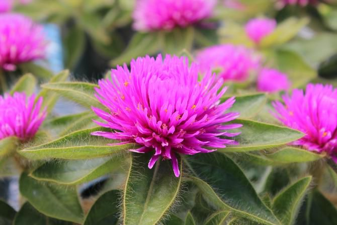 Gomphrena 'Pink Zazzle' is available in a few North Texas retail nurseries.