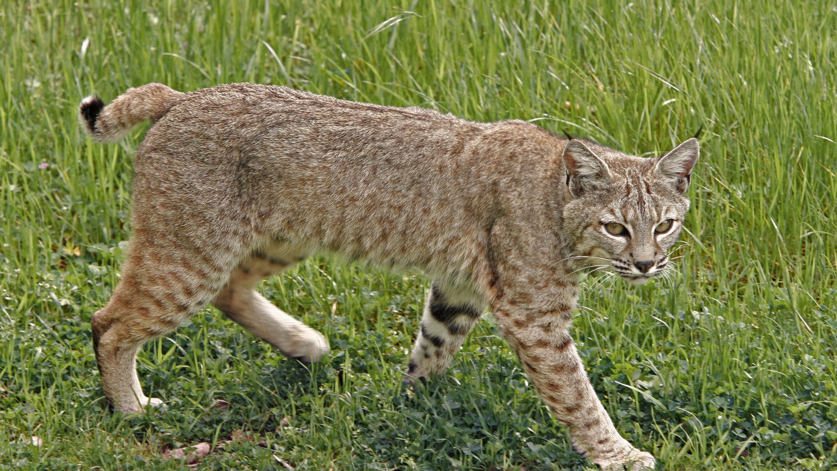 How To Keep Your Pets Safe From Bobcats