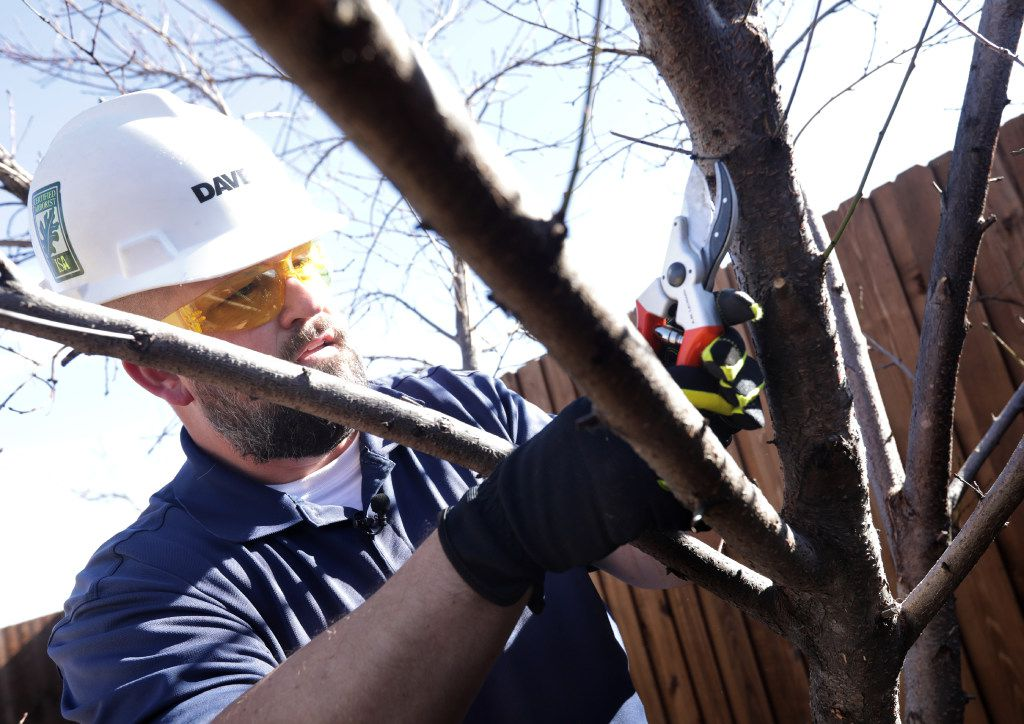 Brian Cox with The Davey Tree Expert Company prunes a peach tree at a client's home in Frisco. (Jason Janik/Special Contributor)