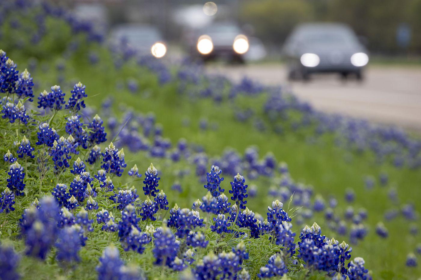 Bluebonnets seen on a hillside next to Interstate 45 in Ennis.