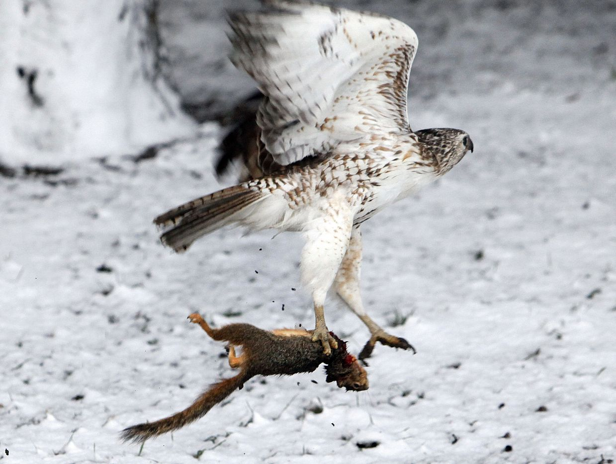 A hawk took flight on March 21, 2010, over a blanket of snow with his early morning breakfast of squirrel near Bachman Lake in Dallas. Snowfall across the area overnight made 2010 one of the snowiest winters on record.