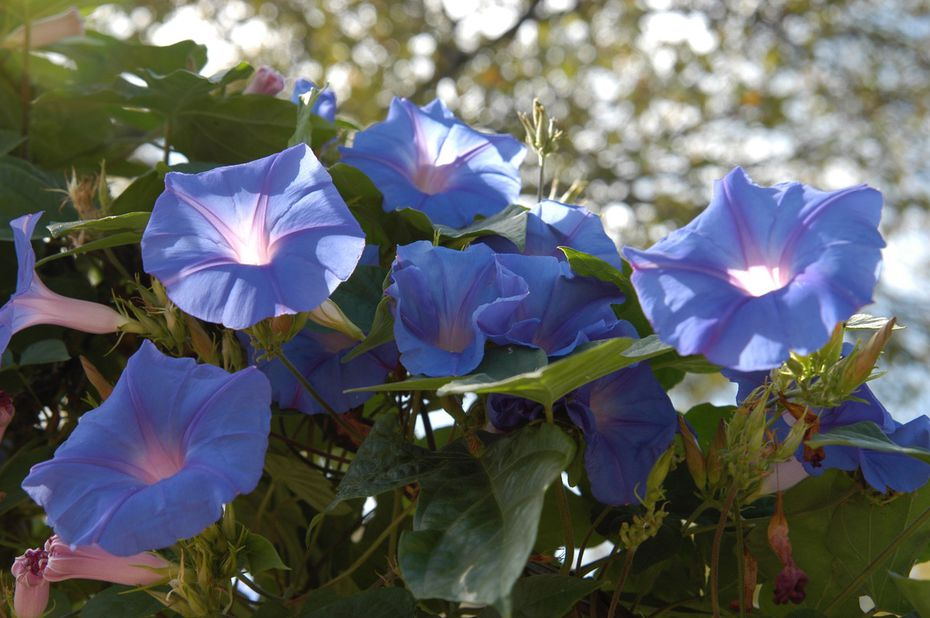 Morning glories are fast-growing annuals available in many colors.