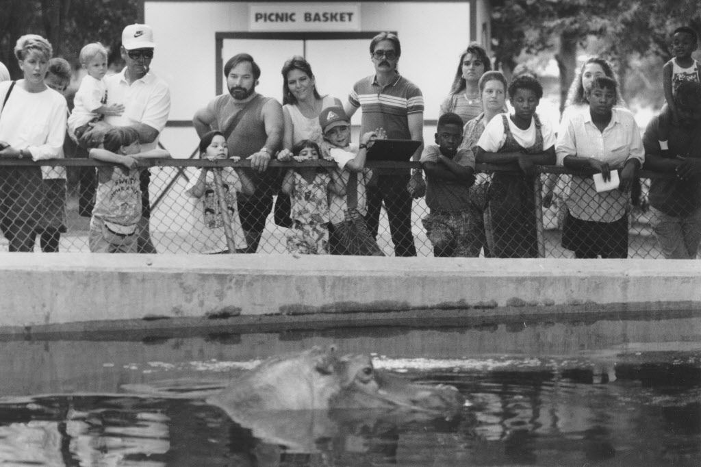 In this file photo, dated July 15, 1990, visitors to the Dallas Zoo watch the river hippopotamus, also known as the Nile Hippo, hang out in the pool behind the hippo barn.