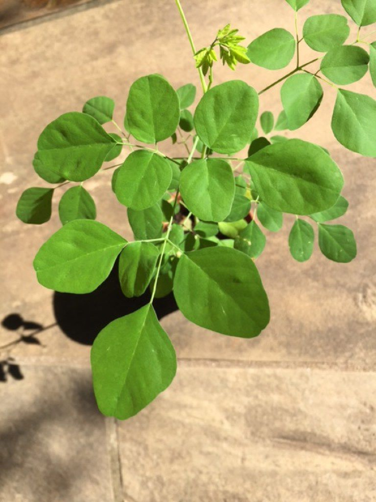 The nutrient value of moringa tree leaves is said to be very high.