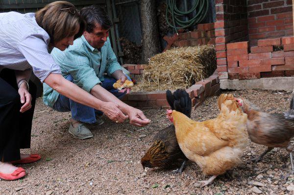 Lisa Domiteaux y su esposo Mark alimentan el 30 de abril de 2012 a los pollos que tienen en el patio de su casa en Dallas.