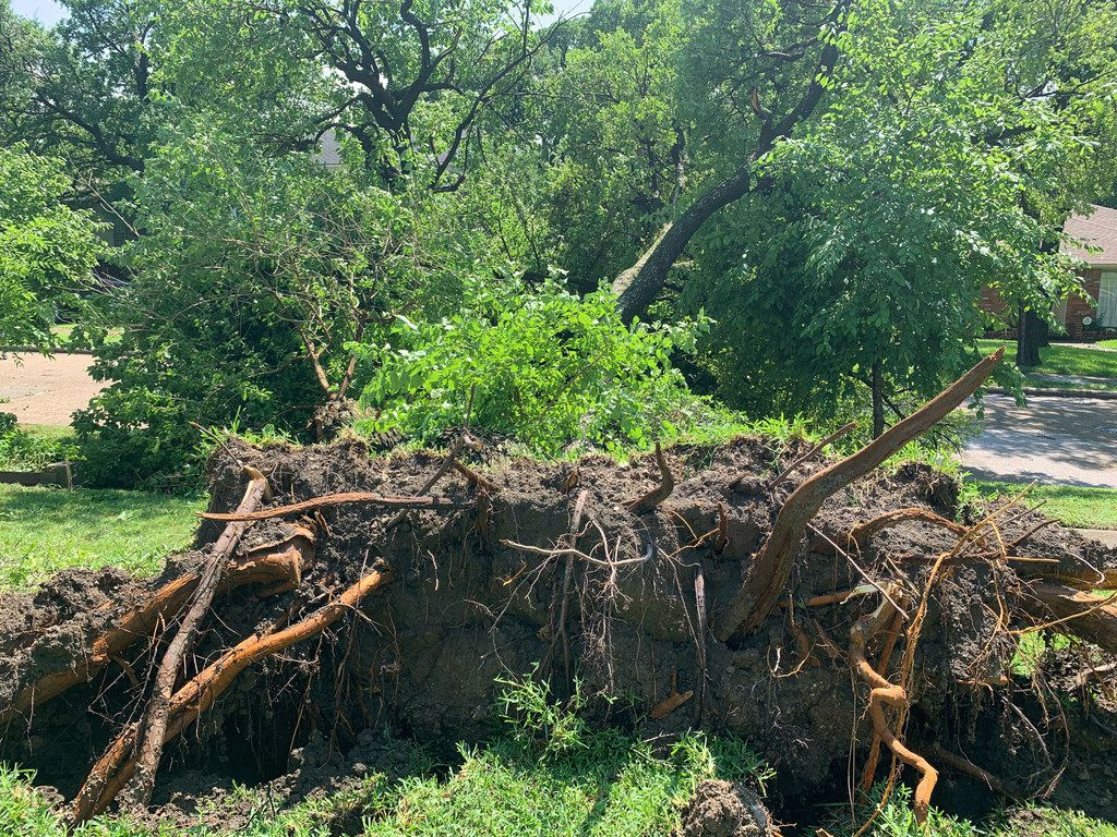 A giant root ball is visible after a large tree fell in high winds in the 1400 block of Mapleton Drive, near N. Buckner Blvd and Ferguson Rd. in the East Dallas area, as a severe storm passed through Dallas on Sunday afternoon, June 9, 2019. (Jamie Hancock/The Dallas Morning News)