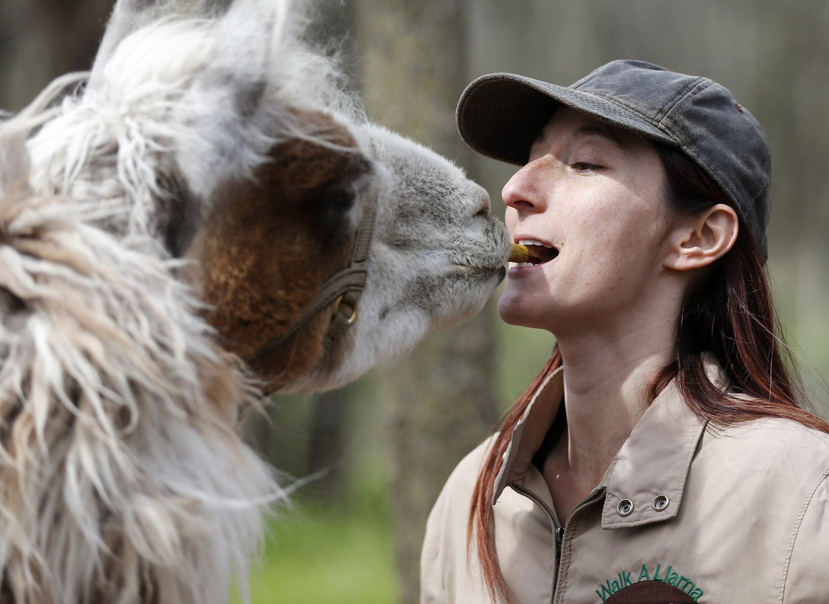 Jenni Brucato shows guests how to hold a treat as Como T. Llama gently takes it from her during a Llama Walk session at ShangriLlama.