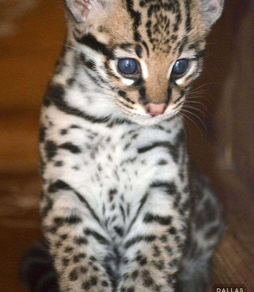 Born March 20, the ocelot kitten is almost ready to explore its habitat — and meet Dad.