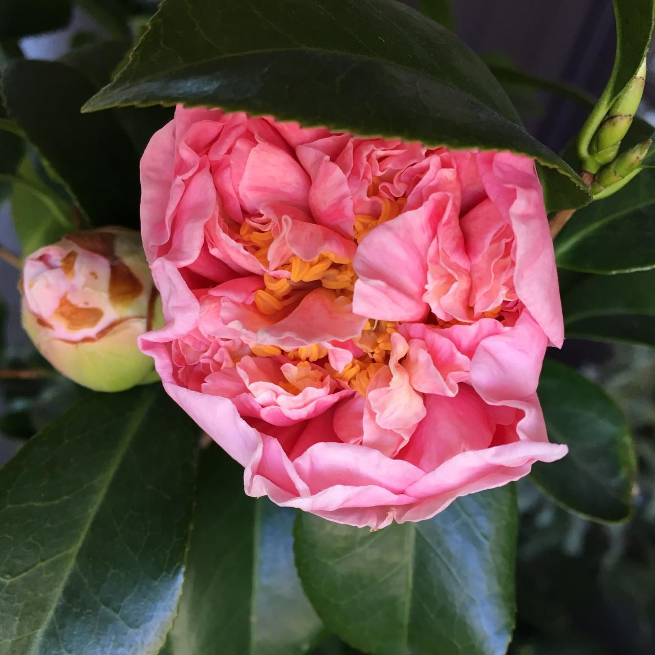 The double blooms of Camellia japonica 'Debutante,' a longtime Dallas favorite, can be 4 inches wide. It is a good option for a privacy hedge.
