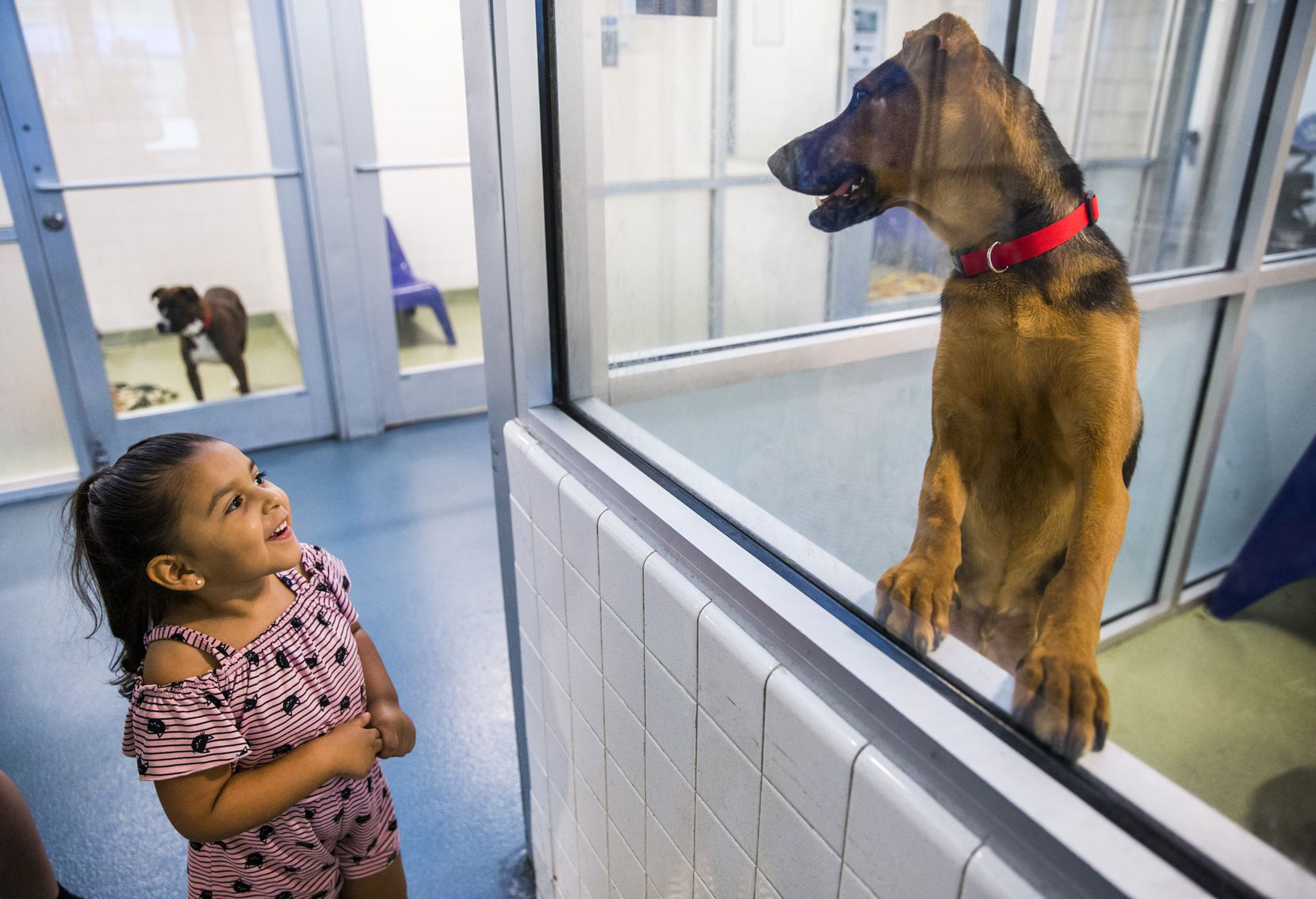 Kallie Guerrero, 3, looked at a dog to potentially adopt last summer at Dallas Animal Services' Main Shelter in Dallas. Because of an urgent need for fosters and adopters to avoid having to euthanize large dogs, DAS has made all adoptions free until further notice, and no experience is required to foster a dog.