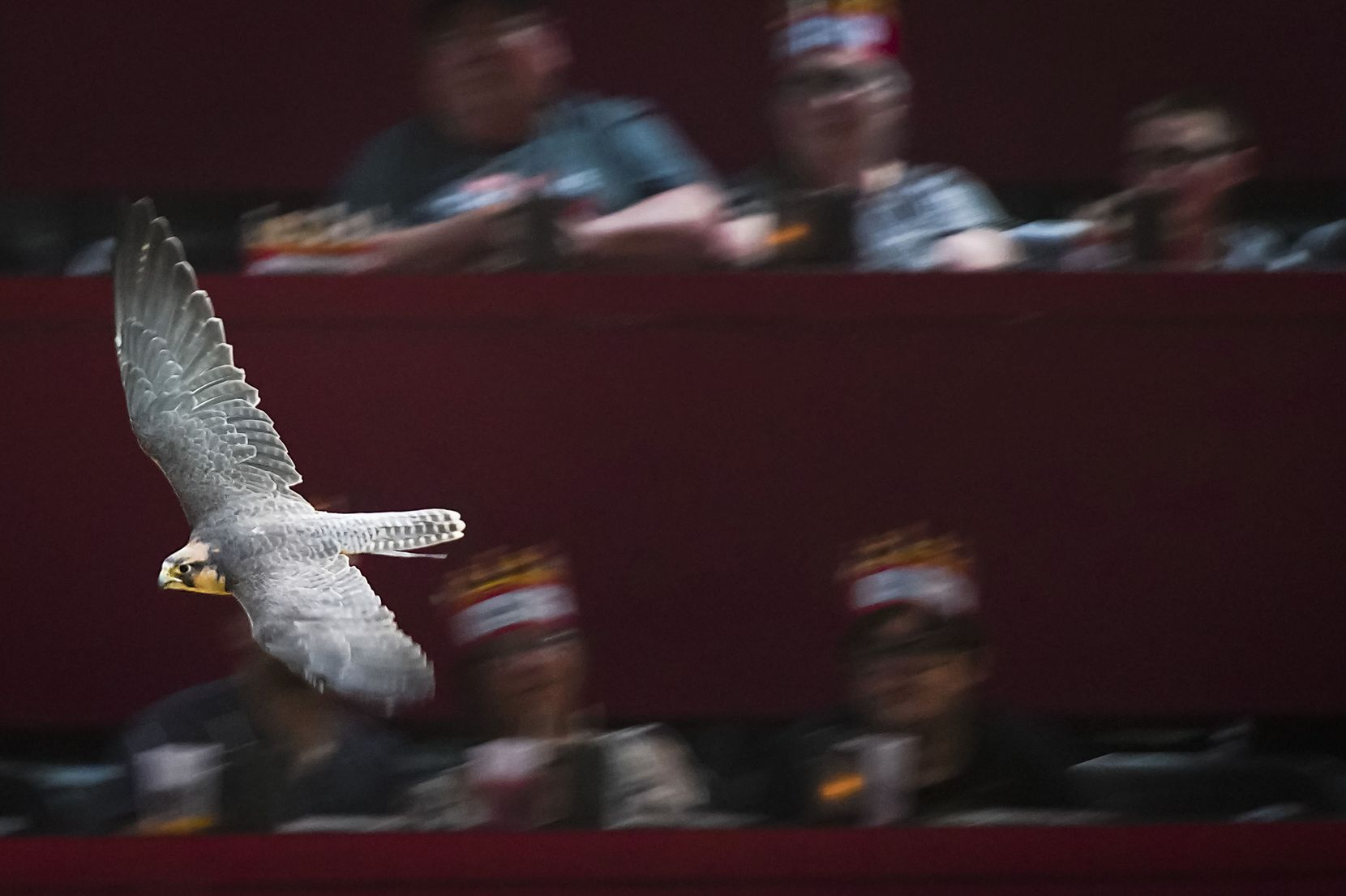 A falcon flies over the crowd during a dinner show at Medieval Times in Dallas. The company employs two falcons.