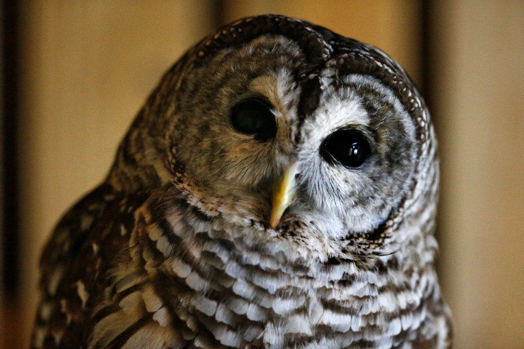 Ollie the owl is previewed to the public during during an owl adoption party at Dogwood Canyon Audubon Center in Cedar Hill.