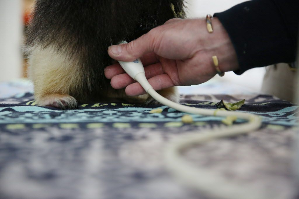 Dr. Chris Bonar performs an ultrasound on Chispa, a tamandua, (a type of lesser anteater), inside the A.H. Meadows Animal Health Care Facility at the Dallas Zoo in Dallas Tuesday January 10, 2016. The zoo hospital is equipped with a pathology lab, operation room, radiology lab and quarantine wards. (Andy Jacobsohn/The Dallas Morning News)