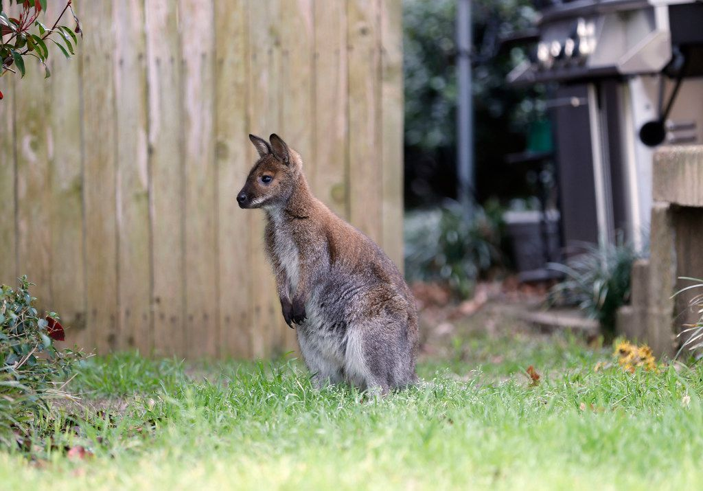 A wallaby roams in the front yard of a Dallas neighborhood on Wednesday.