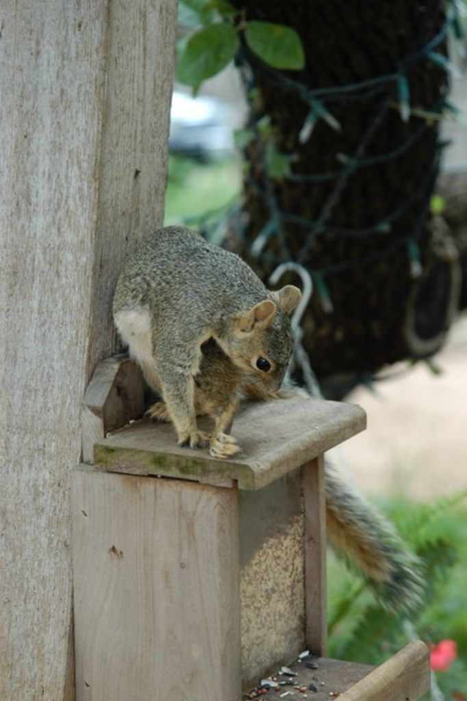 Try this type of gravel to keep squirrels from digging up ...
