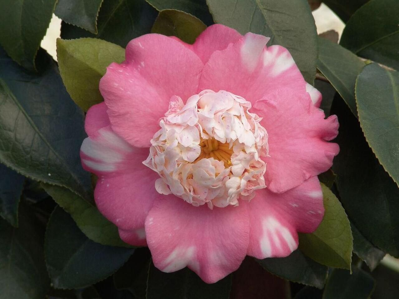 The variegated Camellia japonica 'Chandleri Elegans,' hardy in zones 8-10, produces the unusual so-called anemone form flowers. It will grow in a container or is useful in a hedge, woodland garden or border.