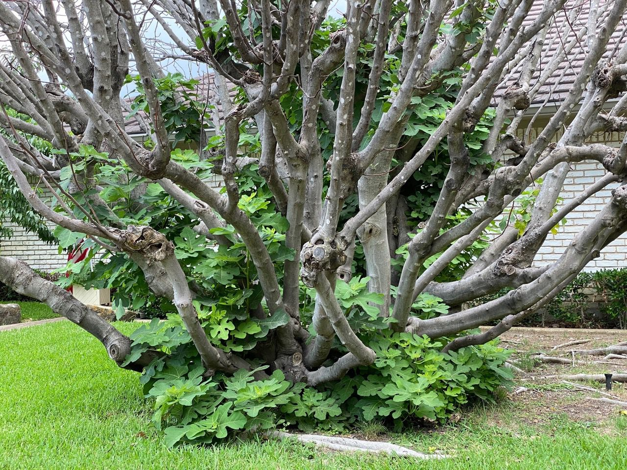 Dead tops should be removed from fig trees and the basal sprouts allowed to regrow.