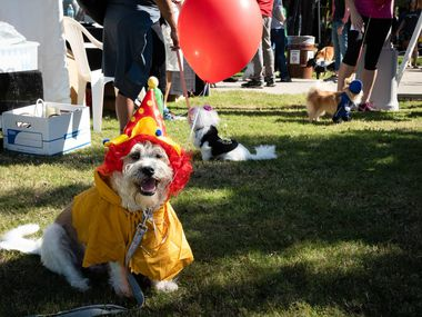 """A dog is shown in costume at a previous """"Pawtoberfest"""" in Richardson."""