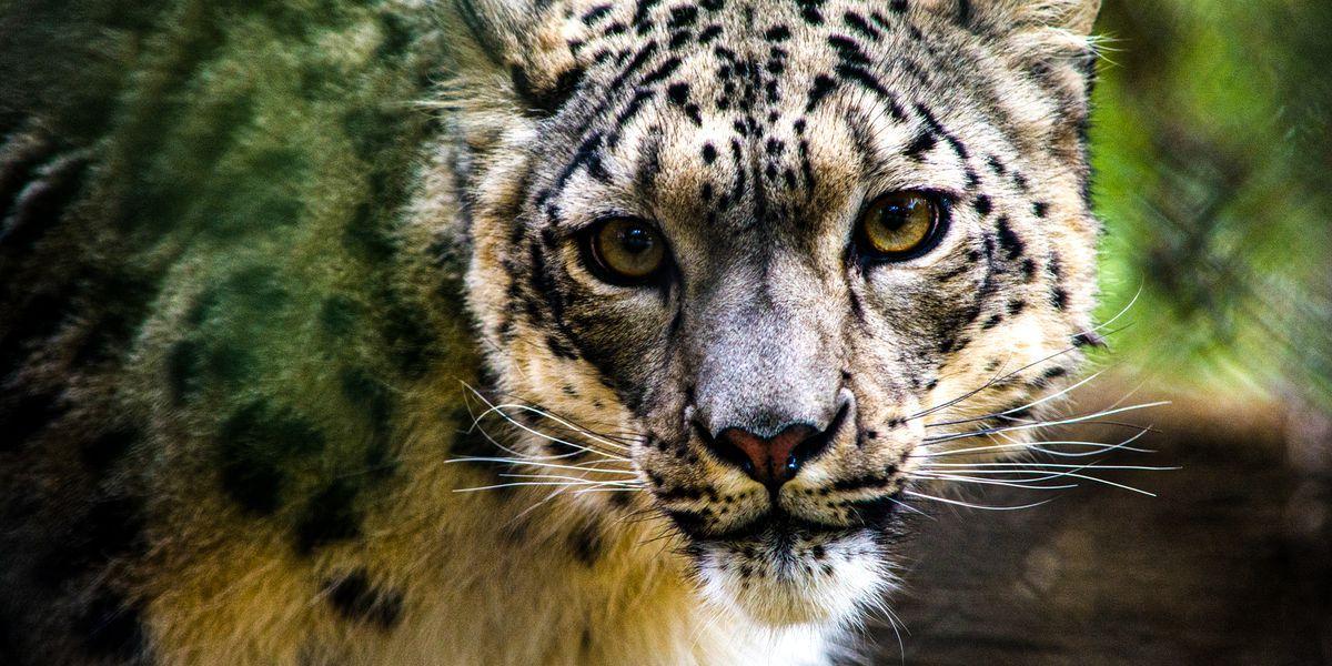 NeeCee, el leopardo de las nieves del Louisville Zoo que se infectó con el coronavirus.