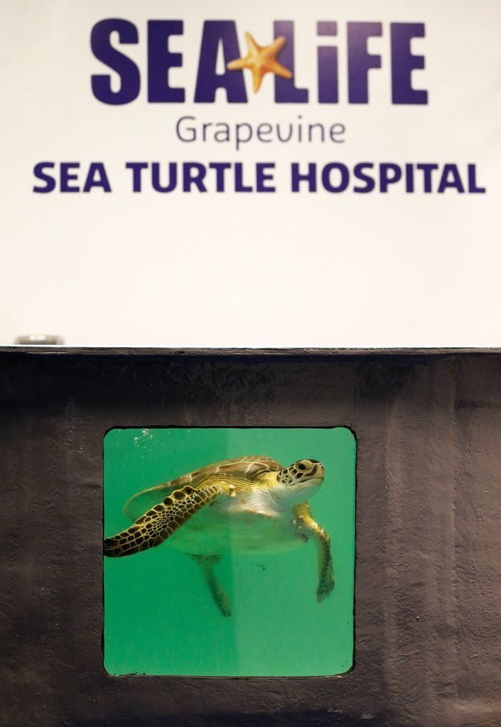 Frio, a green sea turtle found with numerous ailments in Corpus Christi, is recuperating at the Sea Turtle Hospital and Rescue Center at the Sea Life Grapevine aquarium.