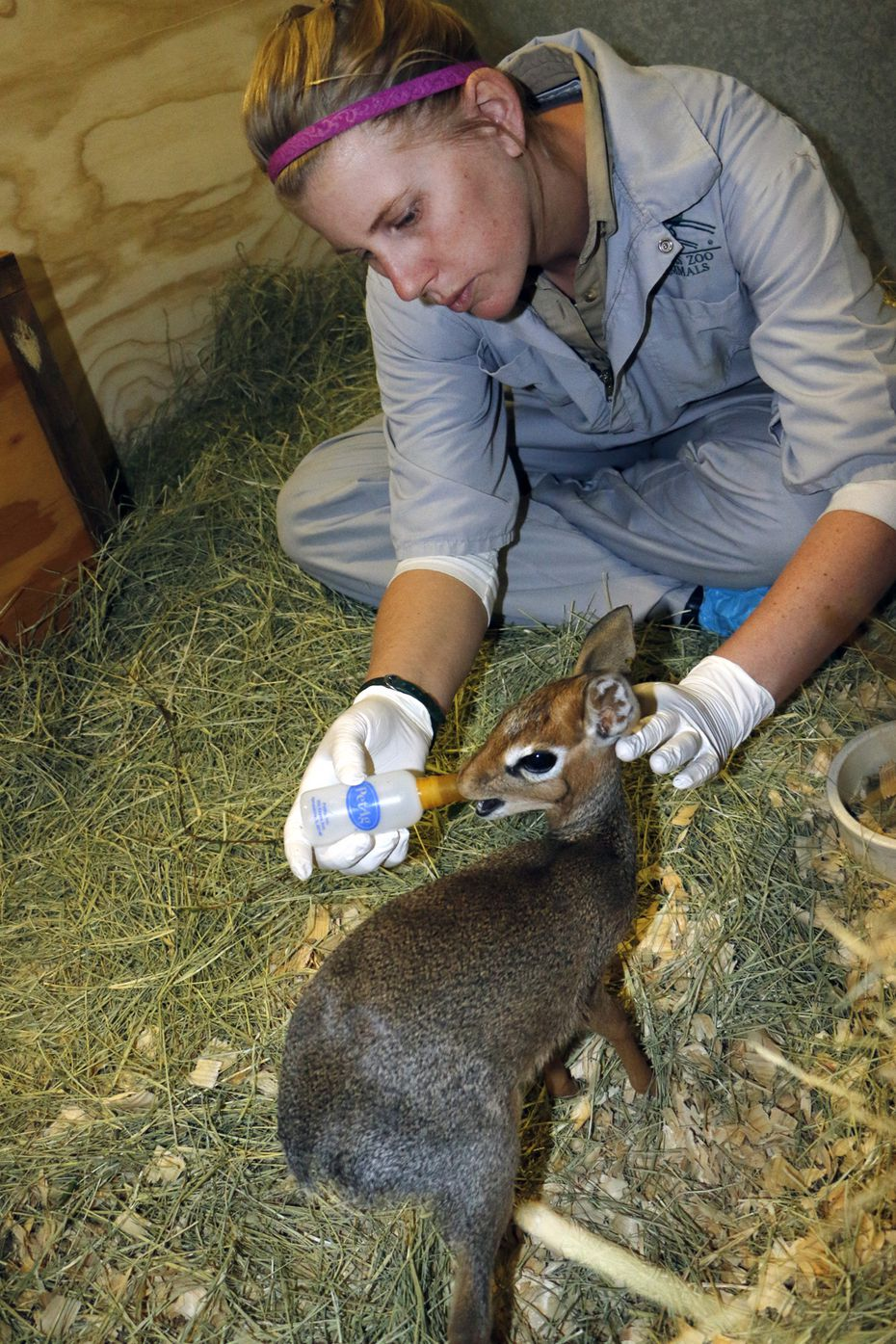 Keeper Christine Stephan feeds Dasher the dik-dik at the Dallas Zoo in 2016.