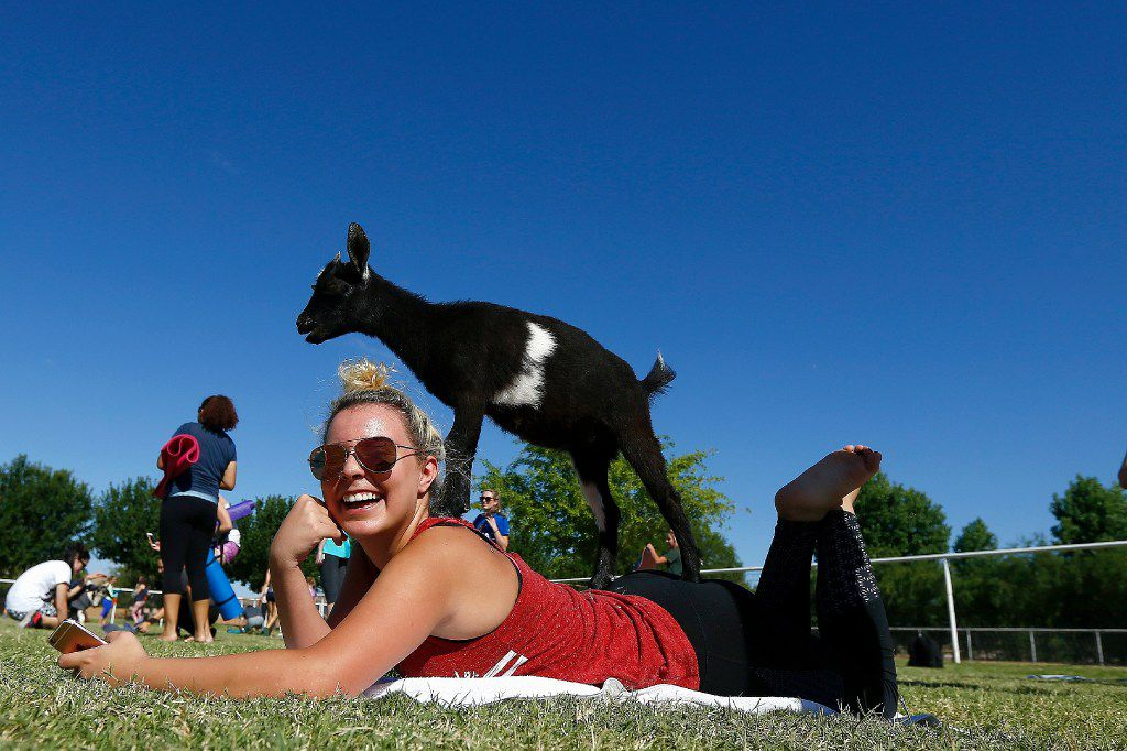 An AZ Goat Yoga participant is surprised as a young goat jumps on her back after class at the Welcome Home Ranch Saturday, May 6, 2017, in Gilbert, Ariz.