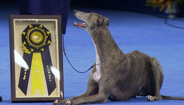 Gia fue la ganadora del National Dog Show, la competencia nacional de perros que se presenta en el Día de Acción de Gracias. (FOTO DE PANTALLA/NBC)