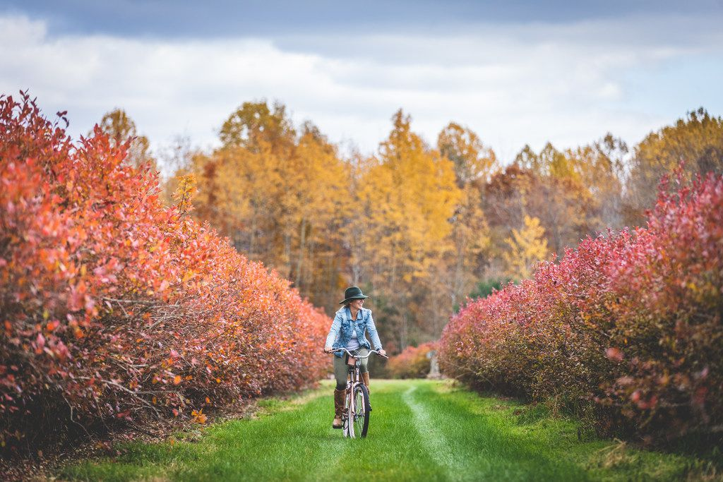 Visitors to The Fields in South Haven, Mich., can enjoy the fall foliage after picking blueberries.