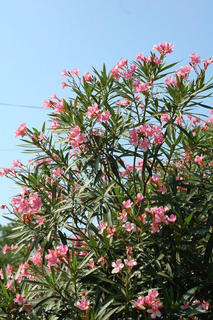 The oleander plant.