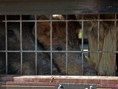 Irving trapping operations nabbed three feral hogs in their new large trap in the Irving landfill March 17, 2011.
