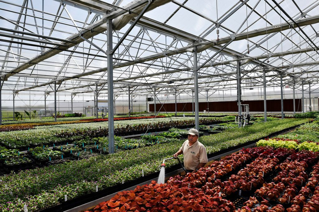 Senior gardener Domingo Celis, 46, spreads water along flower beds at Dallas Arboretum's newest greenhouse, The Tom and Phyllis McCasland Horticulture Center.