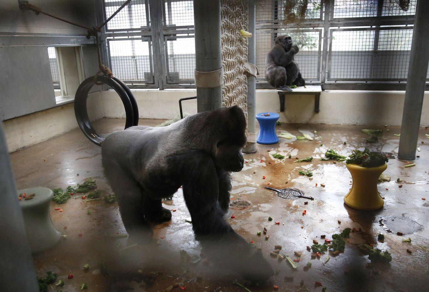 Subira, a silverback gorilla, walks across the heated behind-the-scenes gorilla building at the Dallas Zoo.