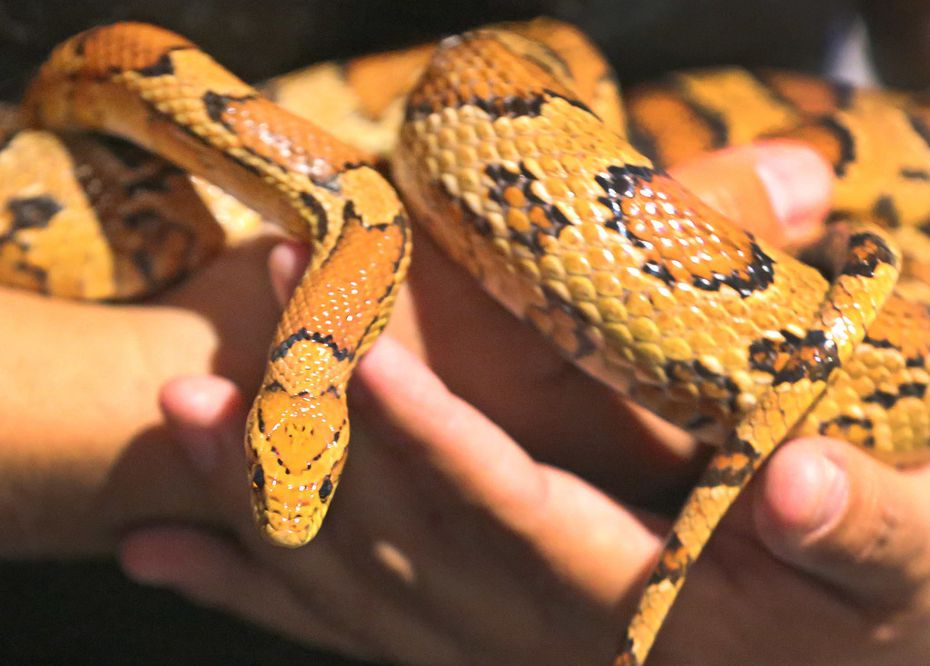 Cornelius the corn snake at the Fort Worth Museum of Science and History on October 13, 2017