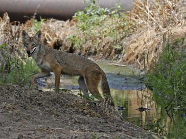 Aa coyote is pictured in this file photo from 2018. (Paul Moseley/Star-Telegram)