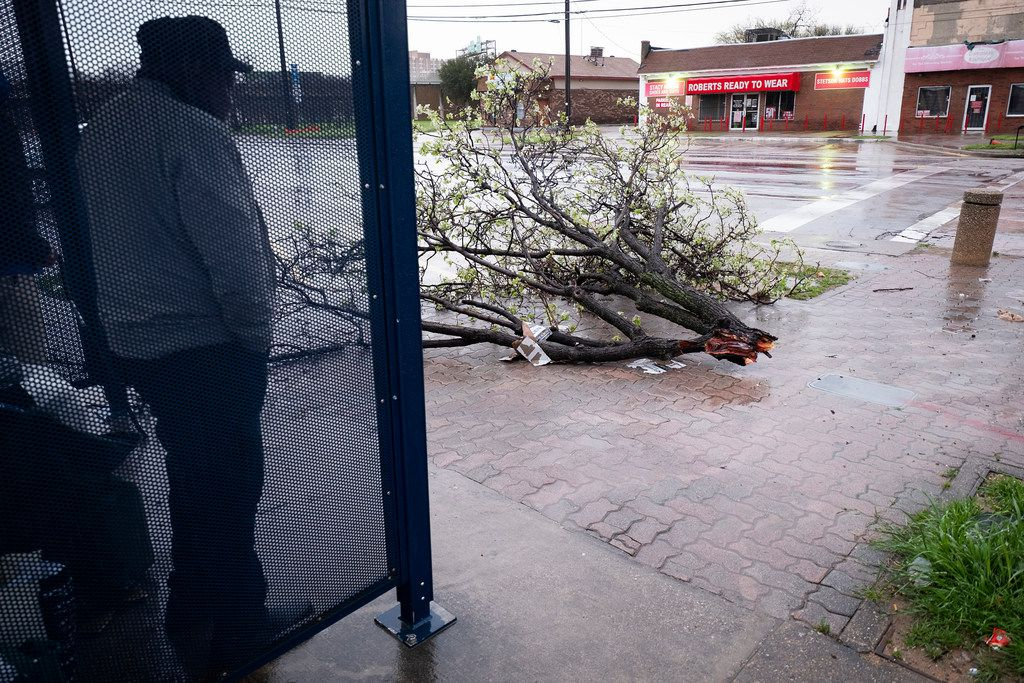 People wait for the bus near a downed tree from overnight storms on Wednesday, March 13, 2019, in Dallas. A line of severe thunderstorms brought strong winds and the risk of tornadoes to parts of Texas and Arkansas.
