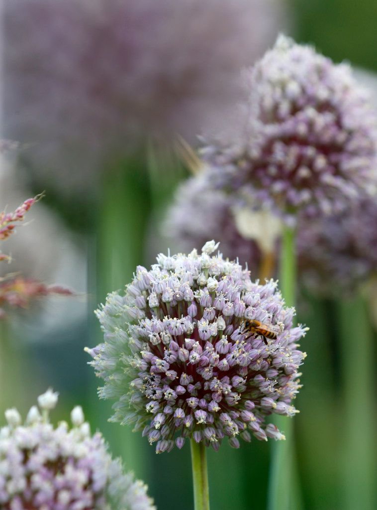 A bee on a allium bloom at Golden Farms in Celina