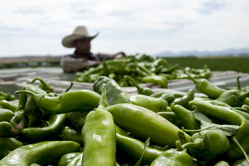 A worker harvests Hatch chiles near Hatch, N.M.