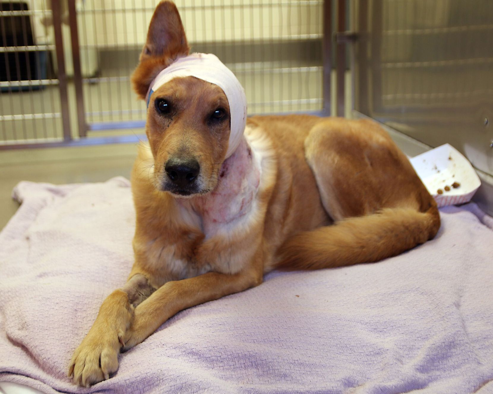Lucky, an 8-year-old dog, was found roaming South Dallas on Saturday. Dallas police's animal-cruelty detectives have an open investigation regarding Lucky, who had his ear removed in surgery due to his severe wounds.