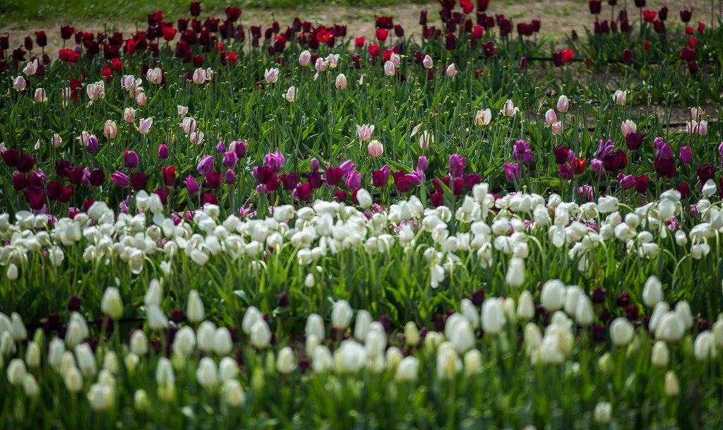 John Poston's team planted a million and one tulip bulbs, just in time for Poston Gardens to open March 15.