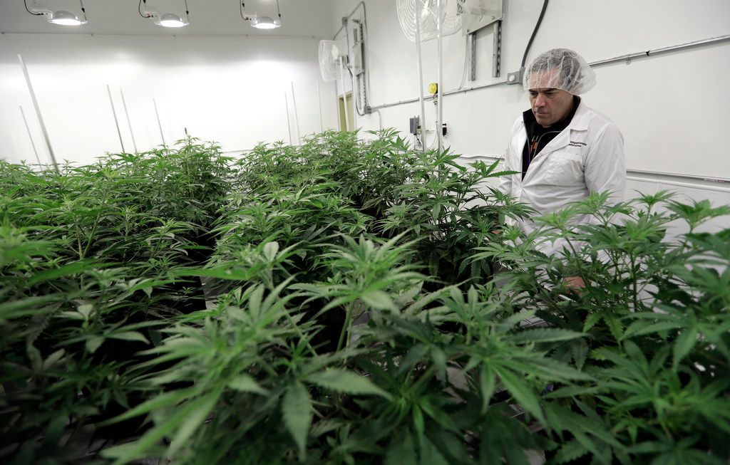 Morris Denton looked over marijuana plants in a flowering room at Compassionate Cultivation, a licensed medical cannabis cultivator and dispensary, in 2017 in Manchaca, Texas.