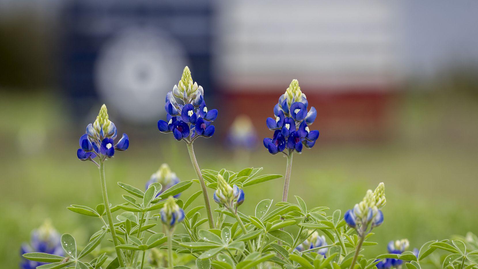 Bluebonnets bloom in Bluebonnet Park in Ennis.