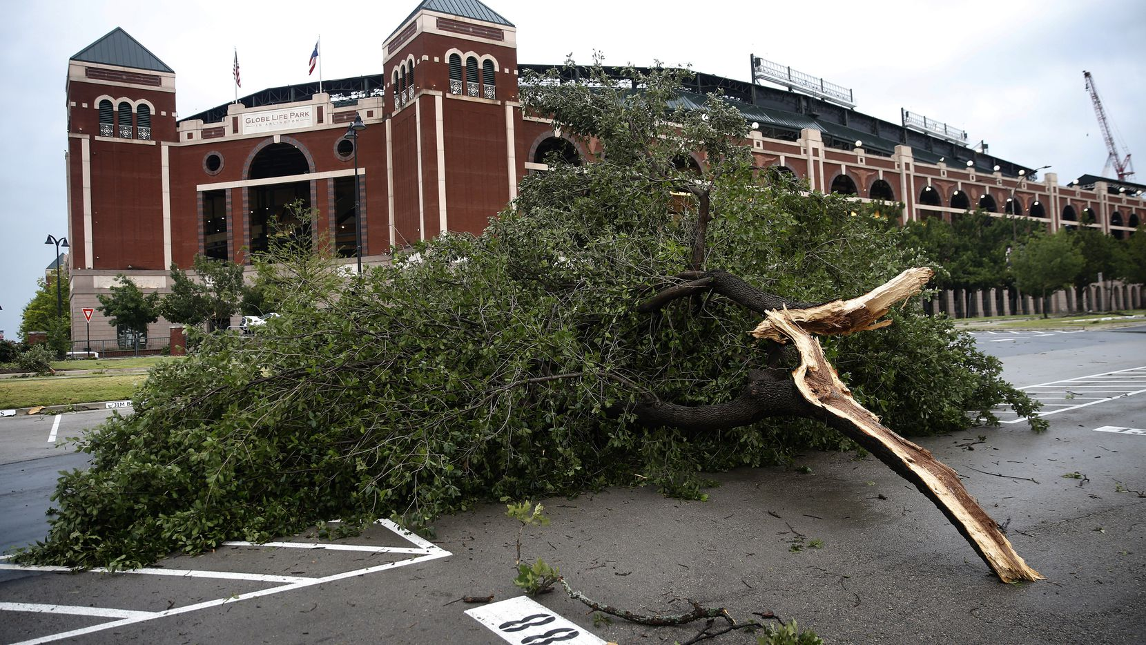 A large oak tree limb landed about 100 yards from its trunk, landing in the parking lot outside Globe Life Park in Arlington, Sunday, June 16, 2019. A path of high winds ripped through a neighborhood near the ballpark as thunderstorms  rolled through the Metroplex.
