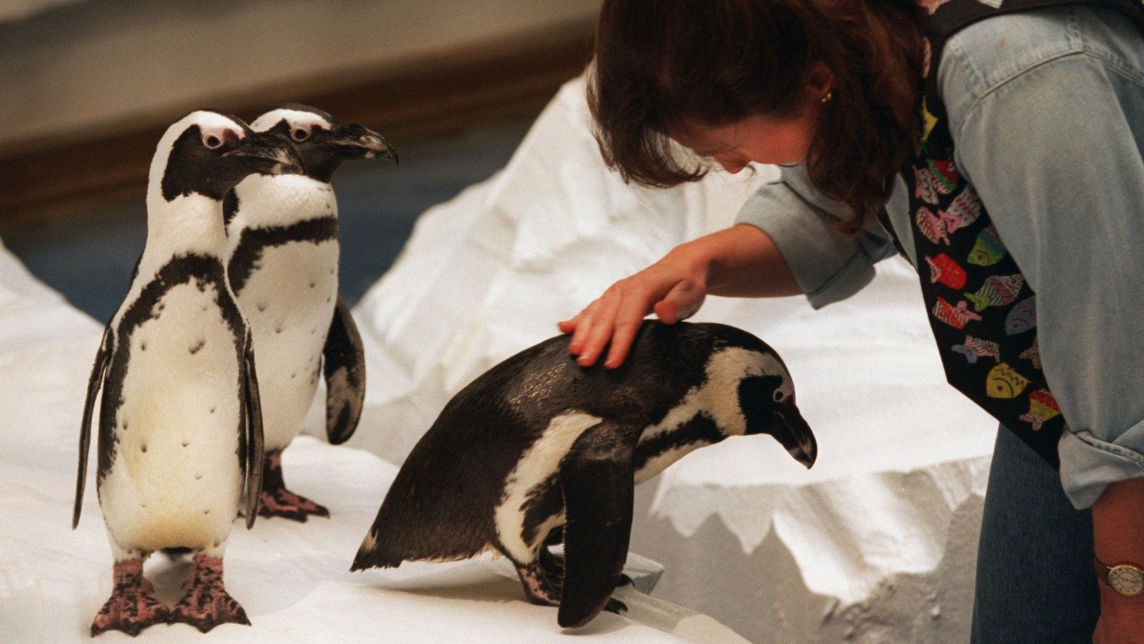 A 1995 photo shows black-footed penguins Weezer (left) and Pogo appearing to await their turn to be petted by the Dallas World Aquarium's Sharon Kienitz as their companion, Fidget, gets a little attention after lunch.