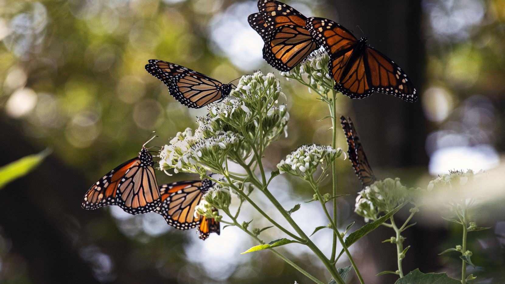 McKinney is looking for volunteers to plant milkweed on Saturday. The plant is a source of nourishment for monarch butterflies.