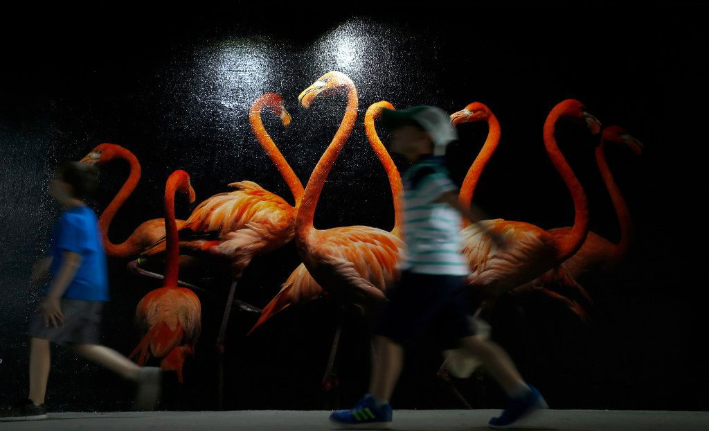 Kids walk by a photograph of American flamingo displayed in the tunnel during the National Geographic Photo Ark exhibit at Dallas Zoo in Dallas, Thursday, April 20, 2017. (Jae S. Lee/The Dallas Morning News)