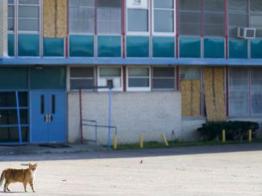 A stray cat walks outside tornado-damaged Thomas Jefferson High School.