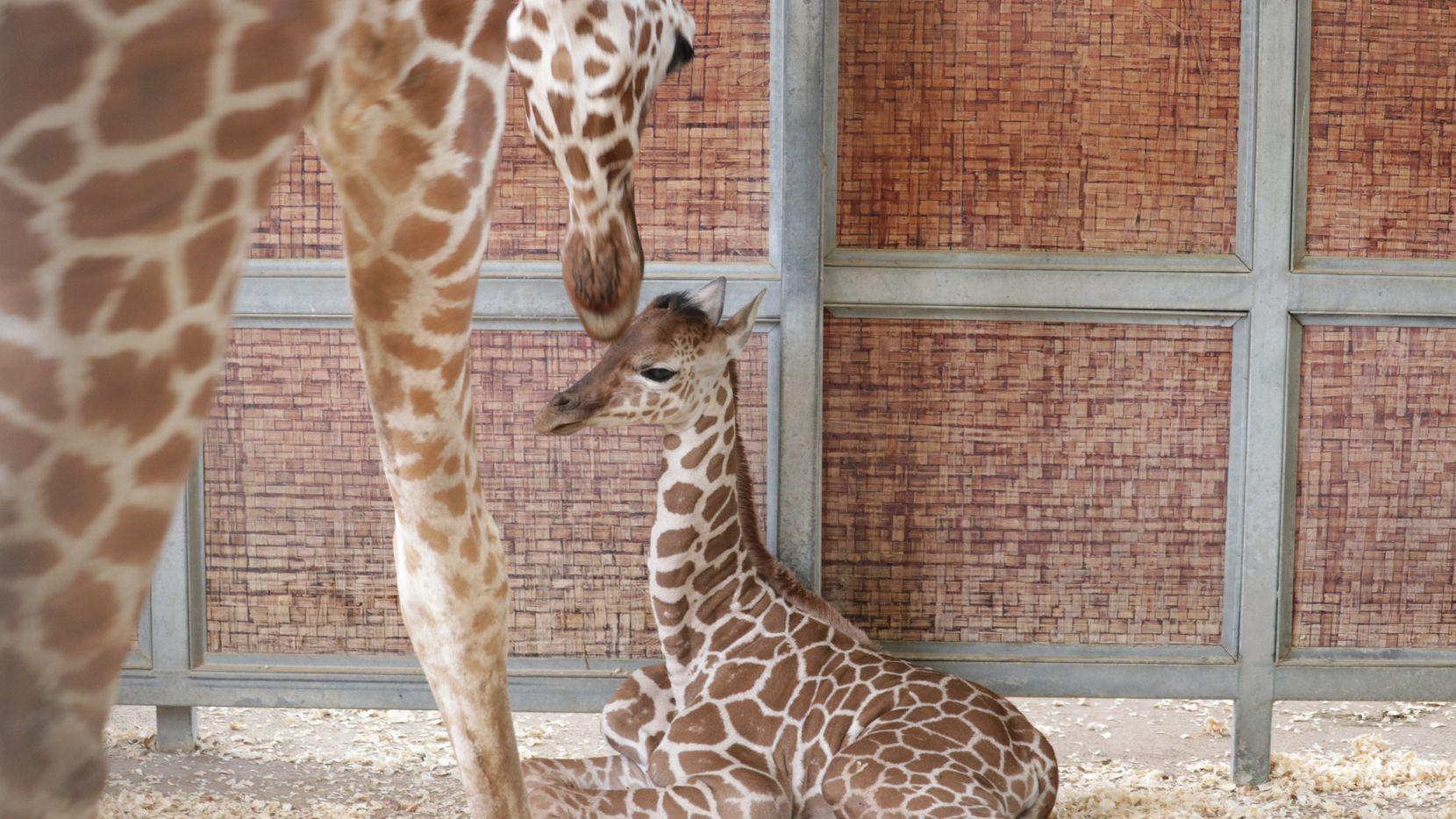 La nueva integrante de la familia de jirafas del Dallas Zoo nació este domingo 4 de julio.