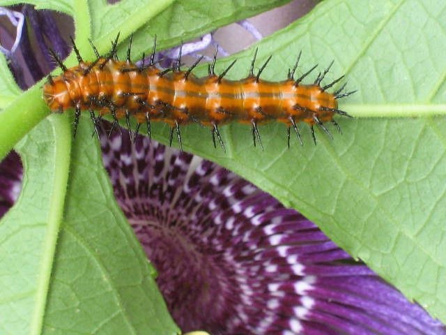 Some caterpillars, such as the Gulf fritillary, should be encouraged in your garden.